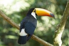 Härliga Toco Toucan arkivbilder