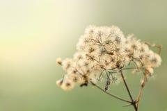 Härliga torkade blommor på ljus bakgrundssuddighet Royaltyfri Fotografi
