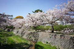 Härliga träd eller sakura för körsbärsröd blomning som blommar i, parkerar fotografering för bildbyråer