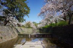 Härliga träd eller sakura för körsbärsröd blomning som blommar i, parkerar royaltyfri foto