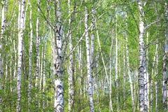 Härliga träd för vit björk i vår i skog royaltyfri bild