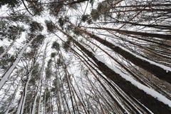 Härliga träd i skogen, beskådar underifrån Royaltyfri Fotografi