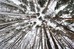 Härliga träd i skogen, beskådar underifrån Royaltyfria Foton