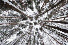 Härliga träd i skogen, beskådar underifrån Royaltyfria Bilder