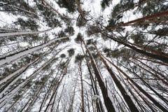 Härliga träd i skogen, beskådar underifrån Arkivfoton