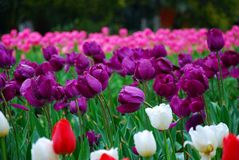 härliga trädgårds- tulpan Royaltyfria Foton