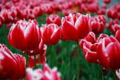 härliga trädgårds- tulpan Arkivbilder