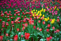 härliga trädgårds- tulpan Arkivbild