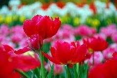 härliga trädgårds- tulpan Royaltyfria Bilder