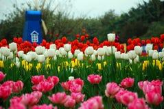 härliga trädgårds- tulpan Fotografering för Bildbyråer