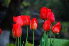 härliga trädgårds- tulpan Royaltyfri Bild