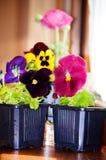 Härliga trädgårds- violets i krukor Royaltyfri Foto