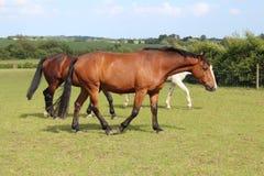 Härliga tre hästar som går och äter royaltyfri bild