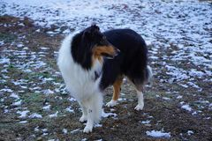 Härliga Tricolor grova Collie Named Trixie royaltyfria bilder