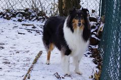 Härliga Tricolor grova Collie Named Trixie royaltyfri foto