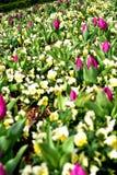 Härliga Tulip Buds med andra blommor arkivbild