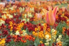 Härliga Tulip Field Arkivbild