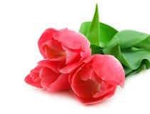 härliga tulpan för pink tre Arkivbild