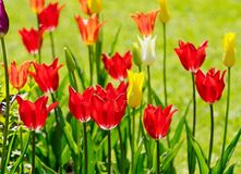 Härliga tulpan växer på en rabatt Royaltyfri Bild