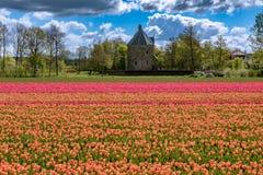 Härliga tulpanfält i Lisse i Nederländerna Royaltyfri Bild