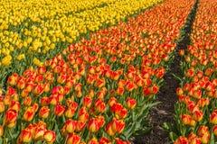 Härliga tulpanfält i Lisse i Nederländerna Royaltyfri Fotografi