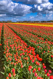 Härliga tulpanfält i Lisse i Nederländerna Fotografering för Bildbyråer