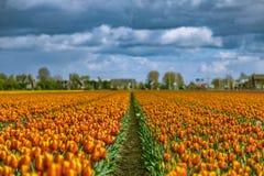 Härliga tulpanfält i Lisse i Nederländerna Arkivbild