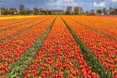Härliga tulpanfält i Lisse i Nederländerna Arkivfoton