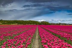 Härliga tulpanfält i Lisse i Nederländerna Royaltyfria Bilder