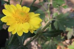 Härliga tusenskönablommor som blommar i trädgård med defocused eller bokehbakgrund Kopieringsutrymme för text eller ord royaltyfria foton