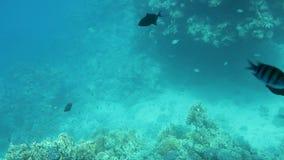 Härliga undervattens- färgrika fiskar och koraller i den tropiska reven av Röda havet Egypten lager videofilmer