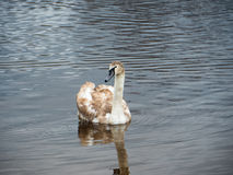 Härliga unga svanar i sjön royaltyfri bild