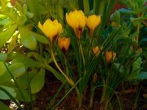 Härliga vårblommor gulnar krokusar i skogen selektiv fokus, makrofoto Arkivfoton