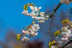 Härliga vårblommor i den Keukenhof trädgården, Holland fotografering för bildbyråer