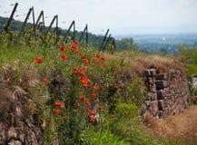 Härliga vallmo på vinvägen i Alsace Fotografering för Bildbyråer