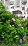 Härliga vanliga hortensior och gammal vägg Royaltyfria Foton
