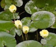 Härliga vattenväxter Royaltyfri Fotografi
