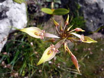 Härliga vildblommor, de vetenskapliga kända `-Bulbophyllum blepharistesna Rchb f `, Arkivbild