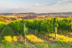 Härliga vingårdar på kullarna av den fridsamma Tuscanyen, Italien Arkivfoto