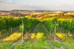Härliga vingårdar på kullarna av den fridsamma Tuscanyen, Italien Royaltyfri Foto
