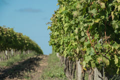 Härliga vingårdar under en blå himmel Arkivbild