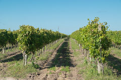 Härliga vingårdar under en blå himmel Royaltyfria Bilder