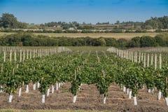 Härliga vingårdar under en blå himmel Royaltyfri Fotografi