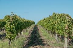Härliga vingårdar under en blå himmel Arkivbilder