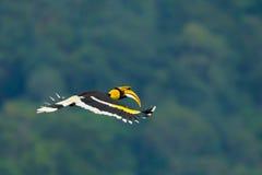 Härliga vingar av den stora hornbillen Royaltyfri Foto
