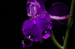 Härliga Violet Flower With Water Drops Arkivfoto