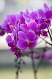 Härliga Violet Phalaenopsis Orchids Arkivfoto