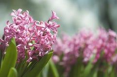 Härliga Violet Pink Little Flowers i trädgården Arkivfoto