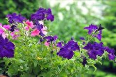 Härliga Violet And Pink Petunia Flowers Arkivfoto
