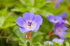 Härliga violets i en botanisk trädgård fotografering för bildbyråer